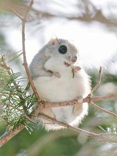 """Conheça os irresistíveis esquilos """"voadores"""" do Japão e da Sibéria"""