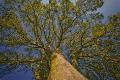 Search for this enormous oak tree in Grožnjan. It won't take you too long Round Trip, Oak Tree, Summer Months, Tree Of Life, Cemetery, The Locals, Croatia, Stuff To Do, Island