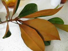 Evergreen magnolia