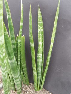 Sansevieria sp. Yaoende Cameroun Specks 514 - CG204.2