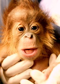 Baby Orangutan at Birmingham Zoo. Born December 13, 2011
