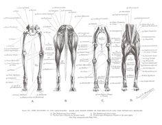 Greyhound Anatomy Diagram - Back and Front Views of the Skeleton and the Important Muscles