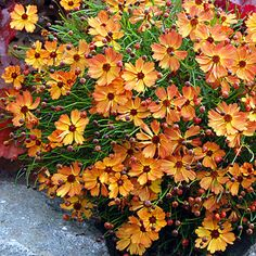Have it - mine look yellow: Coreopsis 'Mango Punch'. Bought a second plant and it looks more orange. The low, mounding perennial covers itself in summer with mango-orange flowers that have a red blush. We love the fresh, fruity hue of this new varie Perrenial Flowers, Flowers Perennials, Planting Flowers, Flowers To Plant, Long Blooming Perennials, Fall Plants, Garden Plants, Patio Plants, Outdoor Plants
