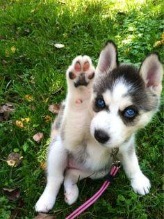 Baby huskies gives me life Cute Husky Puppies, Husky Puppy, Baby Puppies, Baby Dogs, Cute Funny Animals, Cute Baby Animals, Beautiful Dogs, Animals Beautiful, Alaskan Dog
