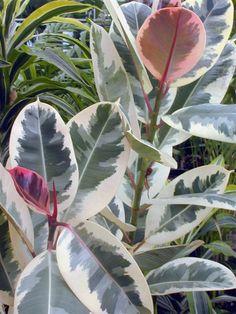 ficus elastica variegata ~ variegated rubber plant