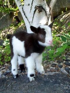 Tiny goat is so fluffy! I love baby goats. Cute Baby Animals, Farm Animals, Animals And Pets, Funny Animals, Animals Planet, Wild Animals, Tiny Goat, Very Cute Baby, Cute Goats