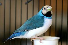 Gouldian Finch, blue back, straw head, white breast