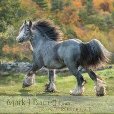 Цыганская Лошадь, Friesian, Тяжеловозы, Фотографии Лошадей, Лошадиные Породы, Любовь Лошадей, Лошади, Коричневый