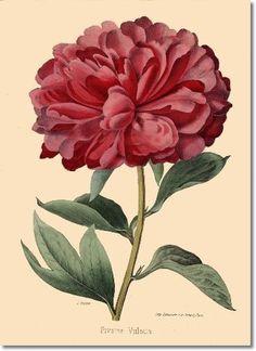peony botanical print
