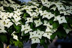 Kousa Dogwood Tree Information - Bing images Kousa Dogwood Tree, Garden Plants, Indoor Plants, Tree Information, Hillside Landscaping, Flowering Trees, Growing Plants, Lawn And Garden, Trees To Plant