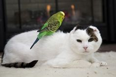 """Green parakeet sits on white cat friend's back so cute. Check out Tails Untold Personalized Pet Books Blog to see our post """"Can Cats and Birds Share a Home. http://blog.tailsuntold.com"""