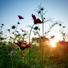 . 今年はコスモス終わっちゃったかな〰️と思っていたら、 まだ つぼみだらけの畑を見つけました✨  得した気分になった 秋の夕暮れです。  #植物のる暮らし #花のある暮らし #庭のある暮らし #ガーデン#ガーデニング#ガーデナー#園芸#植物#コスモス畑#稲美町#いなみびより#garden#gardening#gardener#photo#lovehyogo Dandelion, Gardening, Flowers, Plants, Dandelions, Lawn And Garden, Plant, Taraxacum Officinale, Royal Icing Flowers