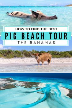 Going on a Pig Beach excursion from Nassau so you can go swimming with pigs on the best excursions in Bahamas to Pig Beach Exuma. Pig Beach Bahamas, Bahamas Pigs, Cat Island Bahamas, Harbour Island Bahamas, Bahamas Honeymoon, Bahamas Vacation, Islands In The Bahamas, Nassau Bahamas Excursions, Best Bahamas Resorts