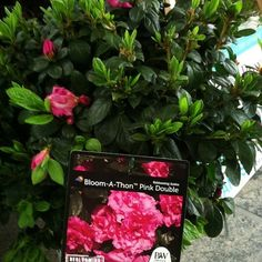 @jchapstk shares bloom-a-ton by @proven_winners … I LOVE THIS ONE! #mants13 #gardenchat