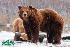Graoully, ours brun d'Europe - Parc de Sainte-Croix