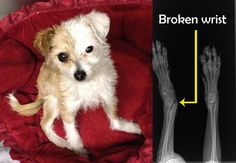 Bitty - Video + X-ray  This is the video that Sasha filmed at the shelter... poor little Bitty has a broken wrist, and it looks just horribly painful: https://www.youtube.com/watch?v=_YF-GC4tD4Y  Please help us cover all these medical bills by making a small donation to Hope For Paws: http://www.hopeforpaws.org