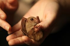 In over 18 years of bat rescues, Louise has never come across a Blossom bat. They are the smallest flying fox in the world and lead very secret lives.