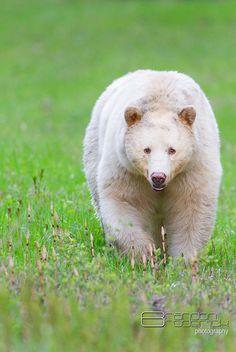 Kermode Bear, also called Spirit Bear, from British Columbia, Canada Spirit Bear, Spirit Animal, Bear Pictures, Animal Pictures, Bear Photos, British Columbia, Animals Beautiful, Cute Animals, Love Bear