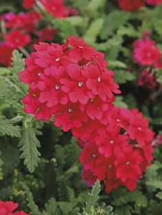 Monrovia's Lanai® Red Verbena details and information. Learn more about Monrovia plants and best practices for best possible plant performance. Flowers Perennials, Planting Flowers, Cascading Flowers, Monrovia Plants, Flower Identification, Plant Catalogs, Home Flowers, Drought Tolerant Plants, Landscaping Plants