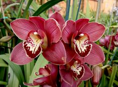 Orquídea roja Leaves, Flowers, Plants, Gardening, Ideas, Painted Flowers, Lawn And Garden, Plant, Royal Icing Flowers