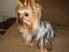 Our Abigaile! Dog Pictures, Cute Pictures, Cute Puppies, Cute Dogs, Yorkie Hairstyles, Animals Beautiful, Cute Animals, Yorshire Terrier, Pet Corner
