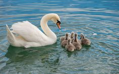 swan's family (02) by Vlado Ferencic #xemtvhay