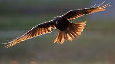 Photographs of Ravens