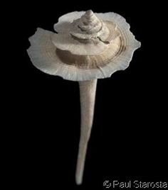Fulgurofusus brayi  (Clench, W.J., 1959) Bray's Pagoda Shell Shell size 30 - 73 mm   Panama - Venezuela; Nevis