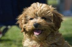Cavoodle ~ Cavalier King Charles crossed with a poodle