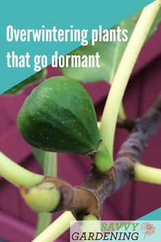 A few tropical plants, like figs and brugmansia, can be placed in a cold, dark room over the winter months, where they'll hibernate until spring. Here are some quick tips for overwintering plants that go dormant. Winter Plants, Winter Garden, Growing Winter Vegetables, Overwintering, Tree Care, Garden Pests, Companion Planting, Organic Vegetables, Tropical Plants