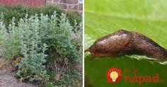 Táto rastlina tromfne aj chémiu zo záhradkárstva: Upravte ju takto a máte pokoj s voškami, slizniakmi aj obaľovačom!