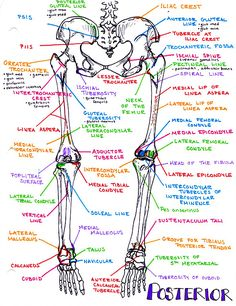 Hanson's Anatomy - Where the art of procrastination meets the study of medicine. The vibrant anatomy & medical notes I created to get through med school. Physical Therapy School, Nursing School Notes, Medical School, Anatomy Bones, Gross Anatomy, Medicine Notes, Human Anatomy And Physiology, Medical Anatomy, School Study Tips