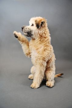 Wheaten Terrier Puppy Pet Portrait Session by Mon Petit Studio |Two Bright Lights :: Blog