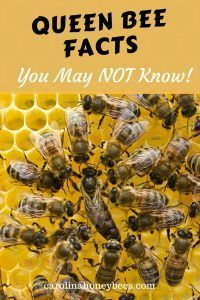 7 Queen bee facts that will amaze you. The role of the queen bee implies total control. However that is not the whole story. #bee #beekeeping #queenbee