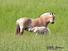 Norwegian Fjord Mare and Her New Foal in Pasture Enjoying a Summer's Day Afternoon.