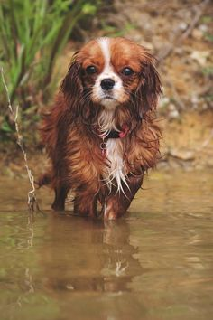 Cali, 8 month old Cavalier King Charles Spaniel