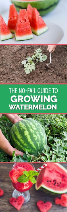 Growing watermelons doesnt need to be difficult. There can be little more exciting crops to grow in your garden than watermelons; slicing open a cool, crisp melon on a hot summers day is one of lifes true pleasures. This complete growing guide shows yo Home Vegetable Garden, Fruit Garden, Edible Garden, Garden Plants, Garden Beds, Organic Vegetables, Growing Vegetables, Fruits And Veggies, Hydroponic Gardening