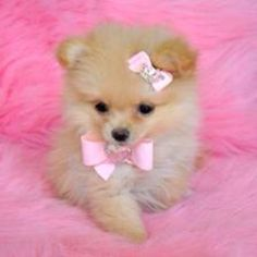 """hello people im so adorable and cute and fluffy, and i love my little pink bow"""