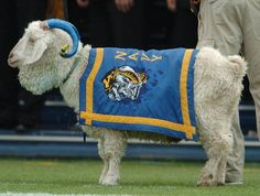 Usually has blue and gold stripes on the horns. Navy - United States Naval Academy Midshipmen - mascot Bill the Goat XXXIII Army Navy Football, Sports Baseball, College Football, Go Navy Beat Army, Army & Navy, Navy Day, Us Navy, Navy Midshipmen