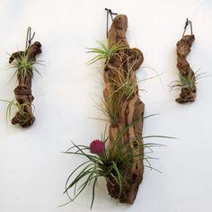 Air Plants on drift wood.