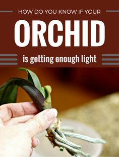 How do you know if your orchid is getting enough light.