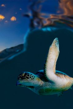 You can't disguise sad eyes, Turtle At Sunset (by Sam Stewart)
