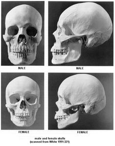 Male and Female Skulls