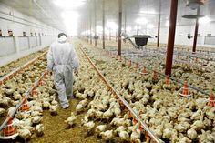 geese farming - Google Search