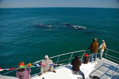 Hermanus, South Africa for all your local and tourism information; from accommodation to events, entertainment, attractions and news – ShowMe Hermanus Whale Nursery, Whale Watching, Marine Life, South Africa, Attraction, Tourism, Entertaining, Turismo, Funny