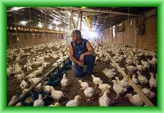 मुर्गीपालन में रोजगार के अवसर