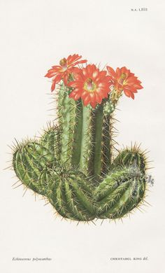 William Curtis Botanical Prints from Curtis Botanical Magazine 1948 and After Succulents Drawing, Cactus Drawing, Cactus Art, Cacti And Succulents, Botanical Tattoo, Botanical Drawings, Botanical Art, Cactus Illustration, Botanical Illustration