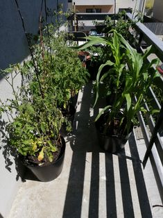 My balcony garden in full sunshine Balcony Garden, Sunshine, Plants, Nikko, Plant, Balcony Gardening, Planets