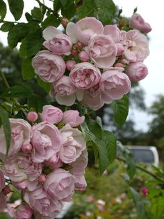 David Austin Rose 'Belvedere'