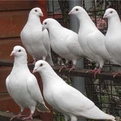 Pigeons for sale Pet Pigeon, Pigeon Bird, White Pigeon, Dove Pigeon, Most Beautiful Birds, Amazing Flowers, Cool Paintings, Animal Paintings, Racing Pigeons For Sale